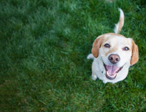 Pet Care Tips: Summer Heat