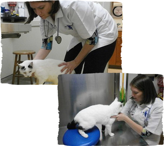 feline physical therapy and rehab with veterinarian
